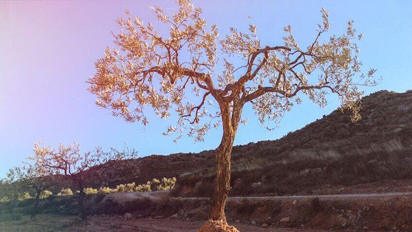 apadrina un olivo hojiblanca