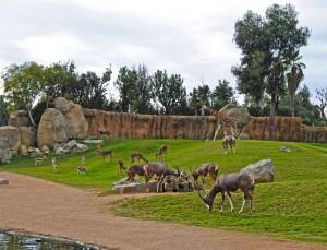 Gacelas thomson sabana africana